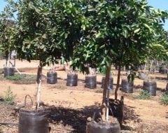 לימון ליים- עצי פרי חצי בוגרים | הדר נוי משתלות