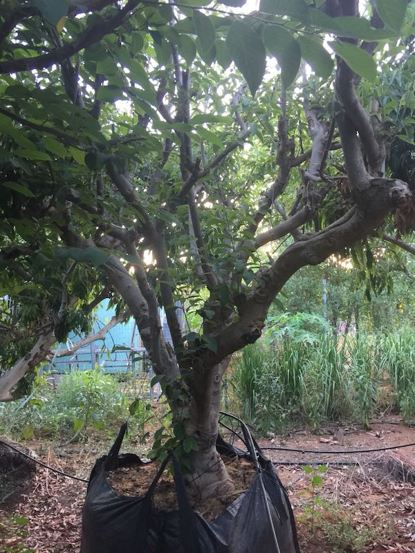 עץ אנונה בוגר