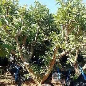 עץ גויאבה בוגר