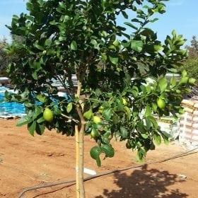 עץ לימון יוריקה
