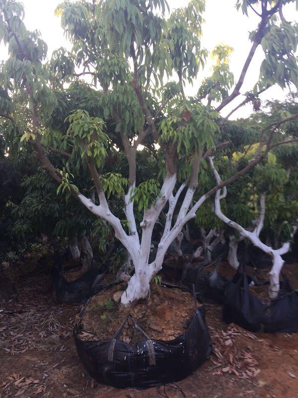 עץ ליצ׳י