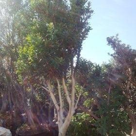 עץ-מקדמיה