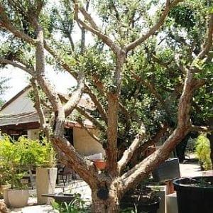 עץ פג'ויה בוגר