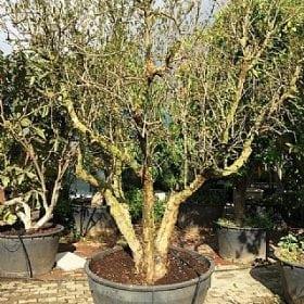 עץ-רימון-וונדרפול