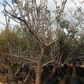 עץ שקד בוגר
