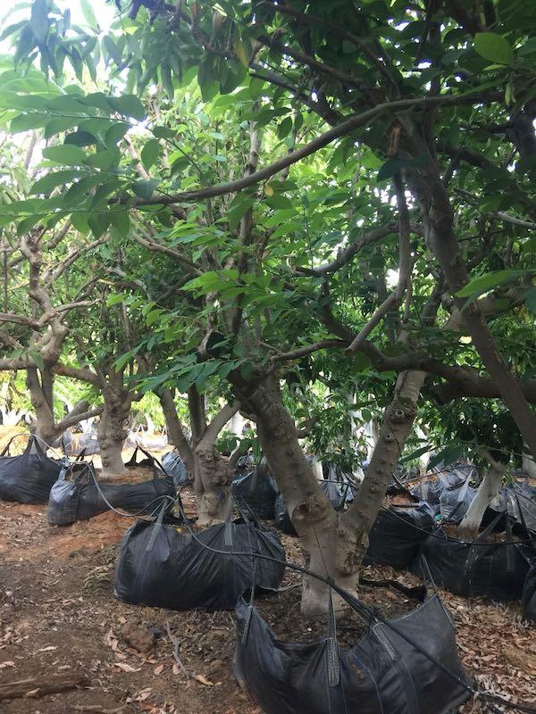 עצי אנונה בוגרים