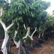 עץ ליצ׳י בוגר