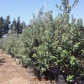 פיג'ויה- עצי פרי חצי בוגרים | הדר נוי משתלות