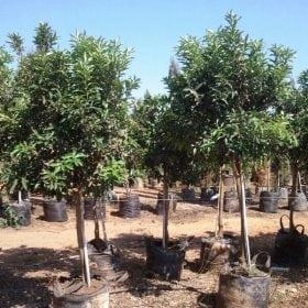 קומקוואט- עצי פרי חצי בוגרים | הדר נוי משתלות