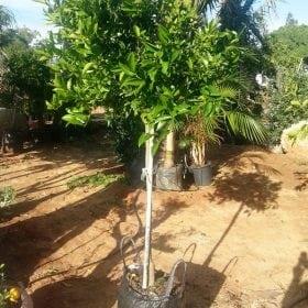 קלמנטינה מיכל - עצי פרי חצי בוגרים | הדר נוי משתלות