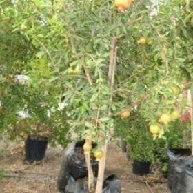 עץ רימון בוגר - עצי פרי בוגרים למכירה | הדר נוי משתלות