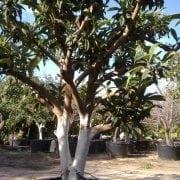 עץ שסק בוגר - עצי פרי בוגרים למכירה   הדר נוי משתלות