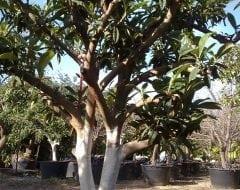 עץ שסק בוגר - עצי פרי בוגרים למכירה | הדר נוי משתלות