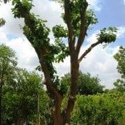 עץ אשכולית בוגר - עצי פרי בוגרים למכירה | הדר נוי משתלות