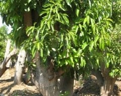 עץ אבוקדו בוגר - עצי פרי בוגרים למכירה | הדר נוי משתלות