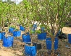קלמנטינה אור - עצי פרי בוגרים למכירה | הדר נוי משתלות