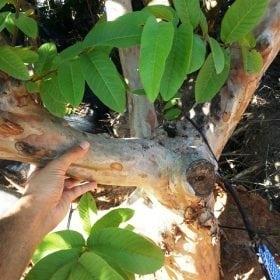 עץ גויאבה בוגר - עצי פרי בוגרים למכירה | הדר נוי משתלות