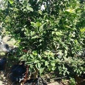 תפוז תבורי וולקה - עצי פרי בוגרים למכירה | הדר נוי משתלות