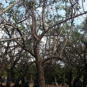 עץ שקד בוגר - עצי פרי בוגרים למכירה | הדר נוי משתלות