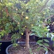לימון ננסי בוגר - עצי פרי בוגרים למכירה | הדר נוי משתלות