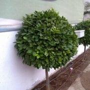 קלמונדין- עצי פרי בוגרים למכירה | הדר נוי משתלות