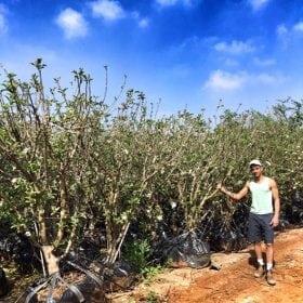 עץ תפוח אנה בוגר - עצי פרי בוגרים למכירה | הדר נוי משתלות