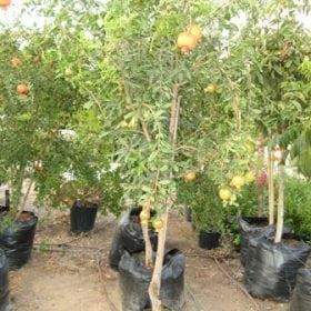עץ רימון מצוי- עצי פרי | הדר נוי משתלות