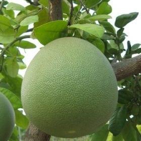 עץ פומלה בוגר - עצי פרי בוגרים למכירה | הדר נוי משתלות