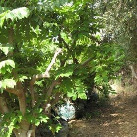 עץ אנונה בוגר - עצי פרי בוגרים למכירה | הדר נוי משתלות