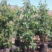 אבוקדו אטינגר- עצי פרי חצי בוגרים | הדר נוי משתלות
