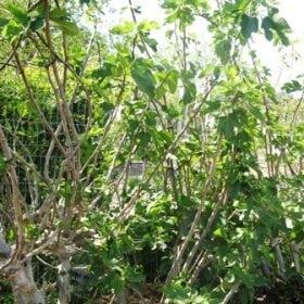 תאנה ברזילאית- עצי פרי בוגרים למכירה | הדר נוי משתלות