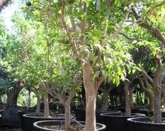 עץ קלמנטינה מיכל בוגר - עצי פרי בוגרים למכירה | הדר נוי משתלות