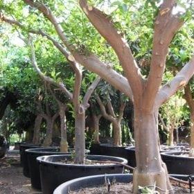 עץ קלמנטינה מיכל בוגר - עצי פרי בוגרים למכירה   הדר נוי משתלות