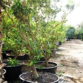 עץ תפוז סיני - עצי פרי בוגרים למכירה | הדר נוי משתלות