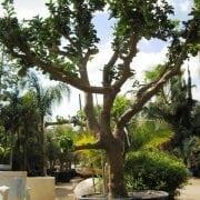 עץ פומלה בוגר - עצי פרי בוגרים למכירה   הדר נוי משתלות