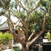 עץ פג'ויה - עצי פרי בוגרים למכירה | הדר נוי משתלות