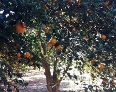 תפוז טבורי סיאמי - עצי פרי בוגרים למכירה | הדר נוי משתלות