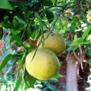 פומלה - עצי פרי | הדר נוי משתלות