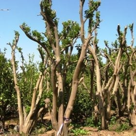עץ תפוז ולנסיה - עצי פרי בוגרים למכירה | הדר נוי משתלות
