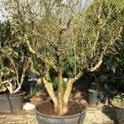 עץ רימון וונדרפול -Wonderful - עצי פרי בוגרים למכירה | הדר נוי משתלות