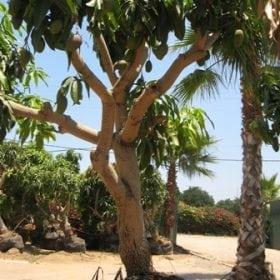 עץ מנגו מאיה- עצי פרי בוגרים למכירה | הדר נוי משתלות
