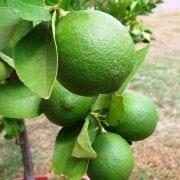 עץ לימון ליים - עצי פרי בוגרים למכירה | הדר נוי משתלות