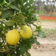 עץ לימון יוריקה- עצי פרי | הדר נוי משתלות