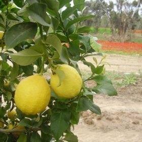לימון יוריקה בוגר - עצי פרי בוגרים למכירה | הדר נוי משתלות