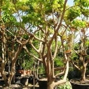 עץ לונגן בוגר - עצי פרי בוגרים למכירה   הדר נוי משתלות