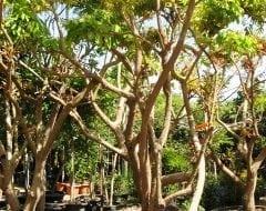 עץ לונגן בוגר - עצי פרי בוגרים למכירה | הדר נוי משתלות