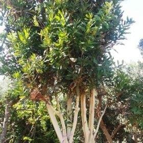 עץ אגוז מקדמיה - עצי פרי בוגרים למכירה | הדר נוי משתלות