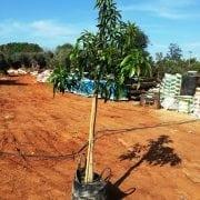 מנגו- עצי פרי חצי בוגרים | הדר נוי משתלות