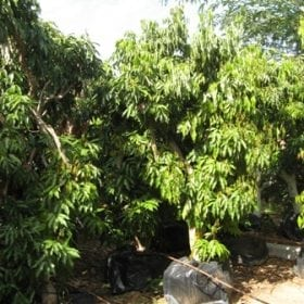 עצי ליצ'י בוגרים - עצי פרי בוגרים למכירה | הדר נוי משתלות