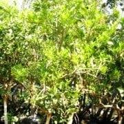 עץ תפוז וושינגטון - עצי פרי בוגרים למכירה | הדר נוי משתלות